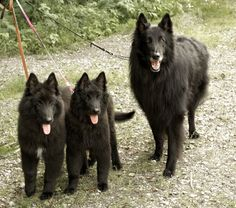 Belgian shepherd dog Groenendael with puppies