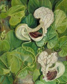 Carnivorous+Flower+-+Marianne+North