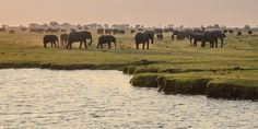 Hundreds Elephants in Botswana Chobe National Park