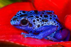 BLUE POISON DART FROG FOR BLUE SHOES. About the size of a paperclip &can poison a snake & about 10 to 15 men. . May come in useful someday. . .