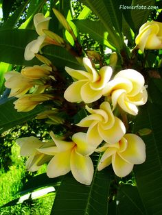 plumeria, one of my favorite flowers . . .they smell like Hawaii!