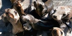 Happy ending for these sea lions and seal who were rescued after the May oil spill on the California coast.