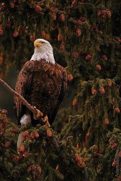 Majestosa águia.