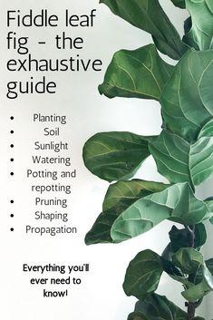 Ficus, Outdoor Plants, Potted Plants, Garden Plants, Plants Indoor, Garden Shrubs, Fiddle Leaf Fig Tree, Inside Plants, House Plant Care