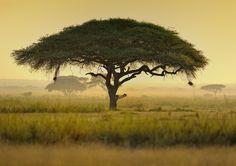 Photograph Umbrella Acacia Tree, Kenya, East Africa by Diana Robinson on 500px