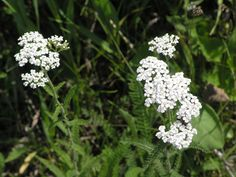 Achillea millefolium (Common yarrow) - grows in dry sun. good for native bees/butterflies. Prairie Meadows, Achillea Millefolium, Seed Bank, Language Of Flowers, Black Eyed Susan, Ohio, White Gardens, Flower Boxes, Native Plants