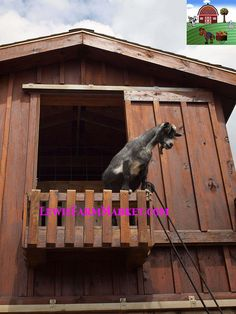 Goat-Upstairs_8194972-GREAT by Petting & Farm Market, via Flickr