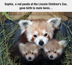 Red Panda Mom And Kids