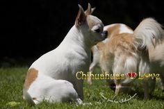 besar a nuestros chihuahuas