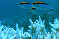 Bleached coral heads off the Keppel Islands.