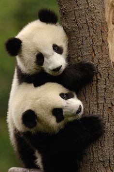 Beautiful panda twins. Just pray and hope that this planet we live in will provde for all those whom are loosing the habitat. Think the Panda's look so much like a stuffed little toy one.. but they do have sharp claws  in order to clime the trees , lets save the rain forest