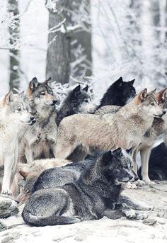 Manada de lobos, animales muy incomprendidos por el hombre