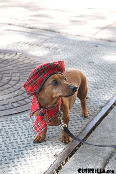 Tartan Doxie--cannot handle all this cuteness!
