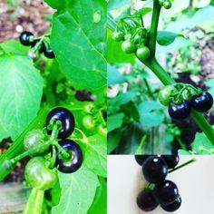 Wonderberry Eggplant, Stuffed Peppers, Fruit, Vegetables, Plants, Food, Meal, Stuffed Pepper, The Fruit