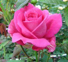 Hybrid Tea Rose: Rosa 'Paris-Match' (France, 2004)
