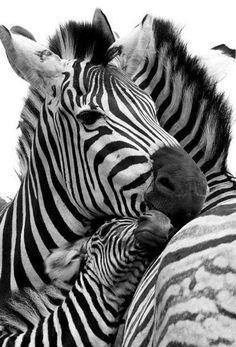 Cuddling Zebra Family.