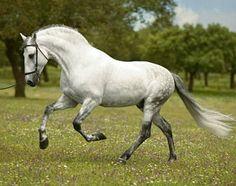Pura Raza Española stallion, Guardadamos.
