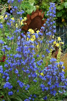 Anchusa azurea, commonly called alkanet or bugloss.