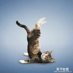 Yoga Cat Cute Kittens Gallery Funny Animals Lady Cats Kitty Gatos