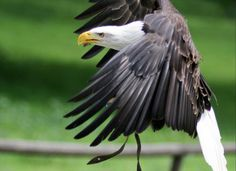 Bald Eagle by Parides