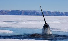 Old narwhals are almost completely white. | 10 Things You Didn't Know About Narwhals http://www.buzzfeed.com/kasiagalazka/narwhals#.ckYb8rLYW