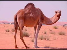 Camel Facts - Facts About Camels....Day 123