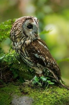 Special owl