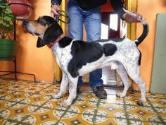 Sabueso Fino 100% Colombiano Ideas Para, Dogs, The World, Types Of Dogs, Dog Breeds, Bloodhound, Pets, Animales, Pet Dogs