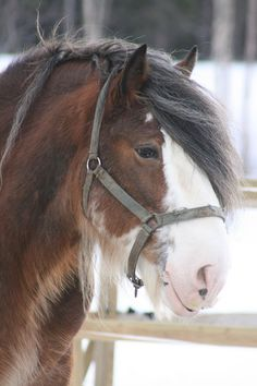 Clydesdale horse stallion
