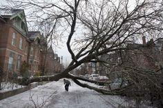 A pedestrian walks under a tree blocking Wellesley Street East following an ice storm in Toronto on Monday, Dec. 23, 2013.