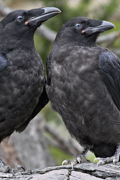 Juvenile ravens (Photographer: Norman Rich)..notice the  blue-grey eyes found in chicks and juveniles