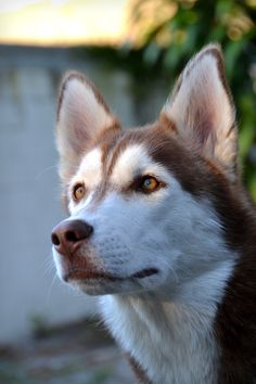 Blaze is a 1 year old handsome Siberian husky that loves being outside!