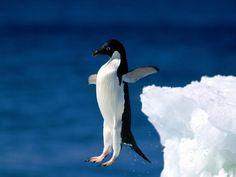 Chute de pingouin [video]
