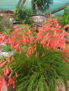 Coral Fountain Grass.