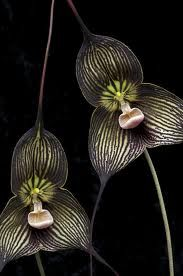 'Dracula vampira' (2010) by photographer Eric Hunt. Species from Ecuador, F3 First Bloom Seedling, grown by Hawk Hill Nursery. via the photographer on flickr