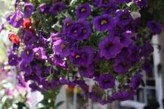 Calibrachoa Midnight Purple:  Use Petunias as edging plants, in mixed plantings, and in all manner of containers, from hanging baskets and window boxes to large tubs. Attracts hummingbirds.