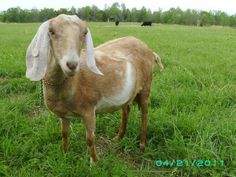Dairy Goats: Can They Save You Money?   The Frugal Farm Wife in USA.  Answer is yes of course #goatvet