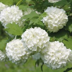 Viburnum opulus 'Roseum' - Potted Hardy Plants - Thompson & Morgan - for the spot where the hydrangea is just now - move the hyrdangea to the side of the shed