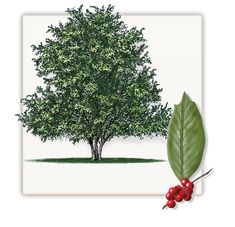Hairy mature holly