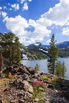 Wild Flowers, Lake Ellery Lake- High Sierra, California