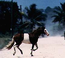 The elegant Spanish beauty and heritage is obvious in the Abaco Barb. These horses are from the Abaco Islands in the Bahamas.