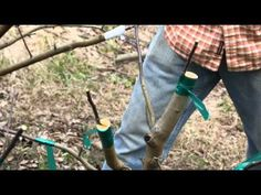 Grafting an Apple Tree with scion wood -  is a good idea to mulch in Ontario to protect roots in winter & keep watering down in summer.