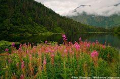 Fireweed blooms along Jerome Lake, Kenai Peninsula, Chugach National Forest, Alaska