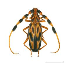 Batus barbicornis - This species of long-horned beetle is of the family Cerambycidae