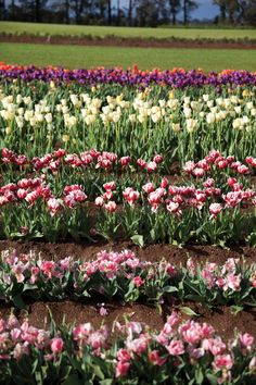 Tulips at Tesselaars Monbulk www.yarravalleymagazine.com.au