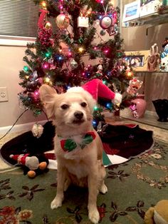 Ralph all dressed up waiting for Santa. Hamilton Veterinary Hospital - Veterinarian In Trenton, NJ USA :: Current Contest