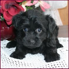 Yorkipoo Puppy. Omgosh... I want her