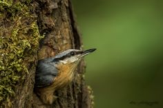 eurasian nuthatch by wise photographie on 500px