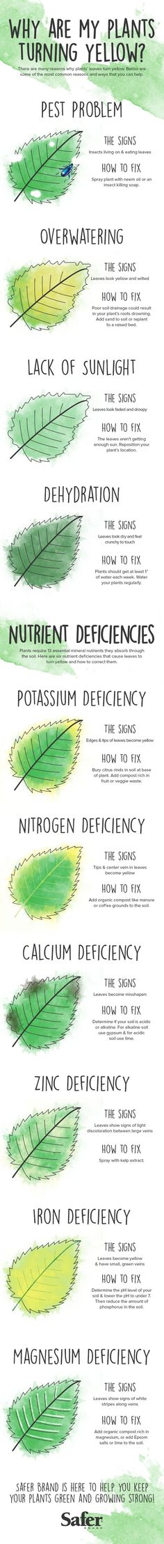 Why are my plants turning yellow? If your vegetable garden or house plants have gone from verdant to flavescent, it could be a sign of health issues like too much water or too few nutrients. A new infographic offers tips for getting to the root of the problem. #gardening #garden #plants #planting #leaves #greenthumb