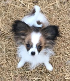 Papillon Pictures (9t411d9q154) Papillon Puppies For Sale, Papillion Puppies, Tiny Puppies, Cute Puppies, Animals And Pets, Cute Animals, Lap Dogs, Dog Life, Dog Breeds